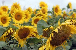 Sonnenblumen, © ballensilage.com
