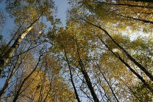 Baumkronen, © ballensilage.com