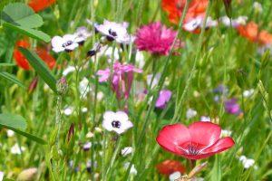 Blühstreifen, © ballensilage.com