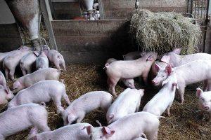 Schweine auf Stroh, © ballensilage.com