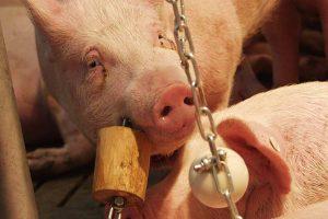 Schwein mit Spielzeug, © ballensilage.com