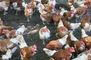 freilaufende Hühner, © ballensilage.com