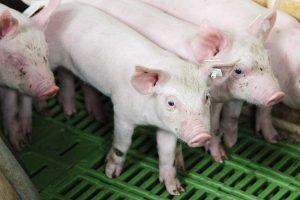 Für jedes kastrierte männliche Ferkel soll nach Angaben der Landwirtschaftskammer Niedersachsen sowie der Vereinigung der Erzeugergemeinschaften für Vieh und Fleisch ein Zuschlag von mindestens vier Euro gezahlt werden, © ballensilage.com