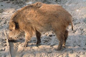 Wildschwein, © ballensilage.com
