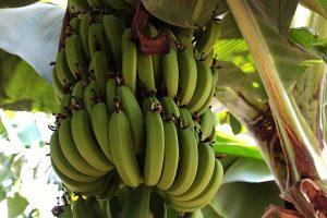 Bananen, © ballensilage.com