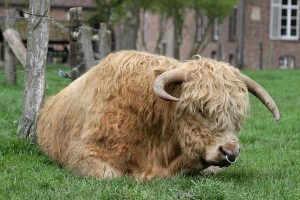 Highland-Cattle, © ballensilage.com