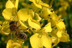 Biene im Raps, © ballensilage.com