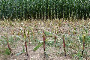 Maisstoppeln, © ballensilage.com