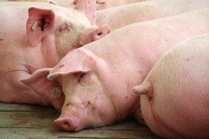 Schweine, © ballensilage.com