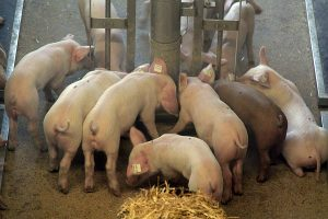 Schweinestall, © ballensilage.com