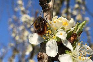 Fleißige Insekten im Alten Land: Ein einziges Gramm Honig erfordert 8.000 bis 10.000 Blütenbesuche, © LWK Niedersachsen / Matthias Görgens