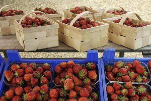 Anfang Mai beginnt in Niedersachsen die Erdbeer-Ernte in ungeheizten Folientunneln, voraussichtlich Ende des Monats die Ernte im Freilandanbau, © ballensilage.com