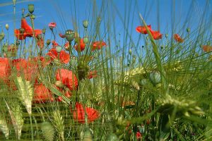 Mohnblumen, © ballensilage.com