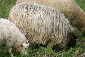 Schafe, © ballensilage.com