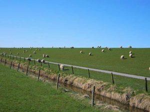 Schafe: Küstenschutz-Helfer im Oldenburger Land, © LWK Niedersachsen[/caption] <p><strong>LWK Niedersachsen