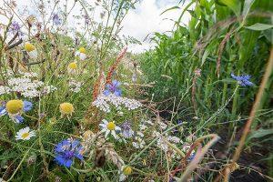 Blühstreifen an Maisfeld, © Ehrecke/LWK Niedersachsen
