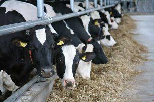 dairy cows, © balesilage.com