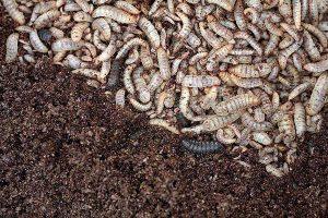 Eine Insektenart, die bereits erfolgreich in WEDA-Anlagen gefüttert wird, ist die schwarze Soldatenfliege, © WEDA