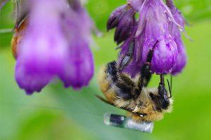 Mooshummel (Bombus muscorum) an Blüte auf dem Rücken wurde ein Peilsender zur Nachverfolgung befestigt, © H. Greil/JKI