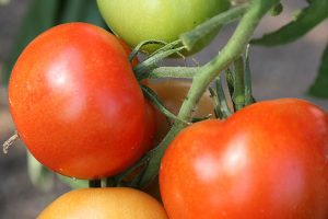Tomatoes, © ballensilage.com